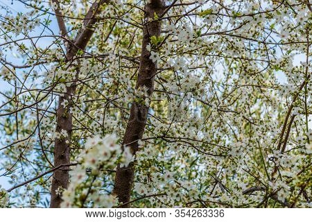 The Spring White Flowers Of A Blooming Prunus Spinosa (blackthorn Or Sloe) Tree