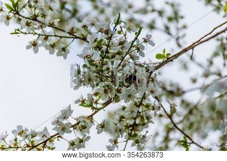 A Large Honey Bee Feeding On Nectar Pollinating Blooming Flowers Of Prunus Spinosa (blackthorn / Slo