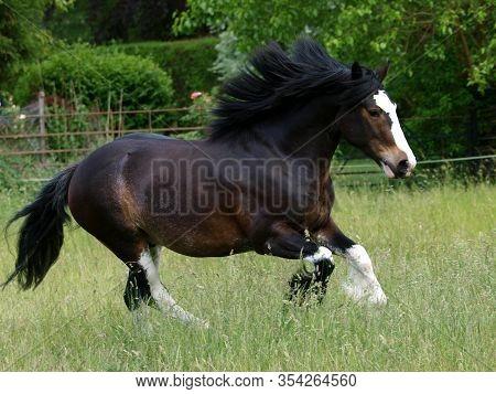 A Dark Bay Part Bred Shire Horse At Liberty In A Grassy Summer Paddock.