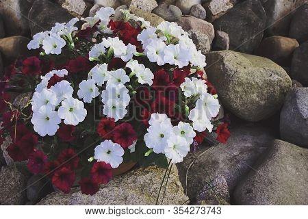 Bright Petunia Flowers Petunia Hybrida In The Garden In Spring. A Bed Of Colorful Petunias. Petunia