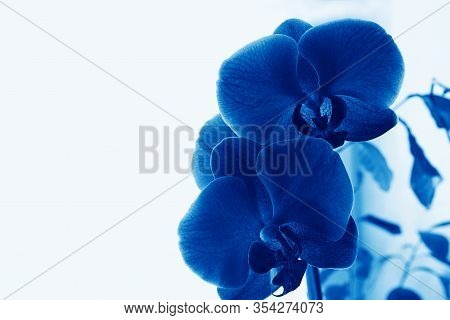 Blue Phalaenopsis Orchid Flower On A White Background. Butterfly Orchid . Selective Focus, Copy Spac
