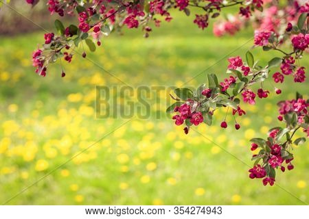 Dandelion Lawn And Pink Apple Tree Blossom. Spring Garden On A Bright Sunny Day.