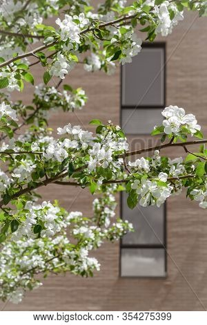 White Blooming Tree In Front Of A Brick Building. Springtime In The City.