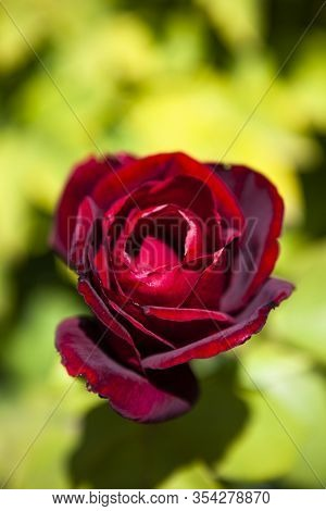Image Shows A Detailed Blossom Of A Red Rose In The Garden