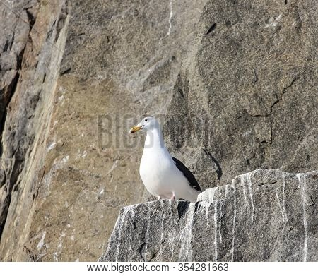 Silvery Gull On The Rocks Of A Rocky Island In The Sea. Eastern Morph Of A Male Silver Gull In Nesti