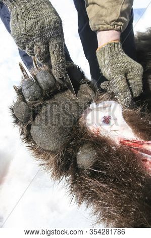 Dissection Of The Bear's Front Paw In The Field After Hunting
