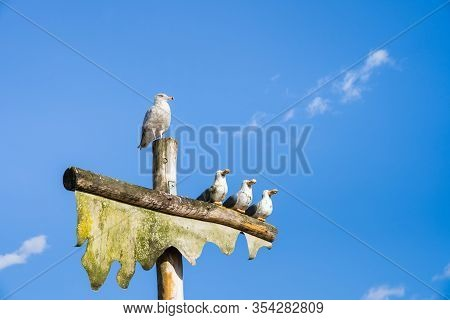 Live Sea Gull Perched On Top Of Pole Beside Sculpture Of Three Humorous Wooden Carved Seagulls With