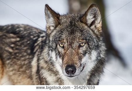 Wolf, Or Gray Wolf, Or Ordinary Wolf (lat. Canis Lupus). Wolf - One Of The Largest Modern Animals In