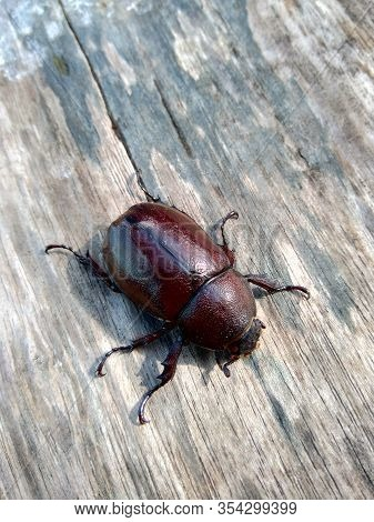 The Exotic Asiatic Rhinoceros Beetle In The Nature Background. The Exotic Animal From Indonesia.
