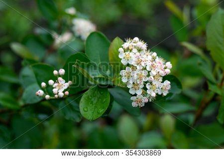 White Flowers Of Black Chokeberry. Aronia Melanocarpa. White Blooming Chokeberry