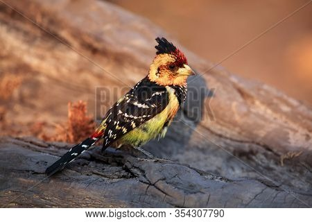 The Crested Barbet (trachyphonus Vaillantii) Sitting On The Branch With Golden Yellow Background. Bi
