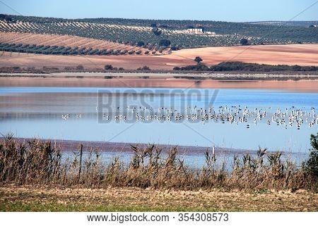 Wildfowl On The Lagoon (laguna Del Fuente Del Piedra), Fuente Del Piedra, Malaga Province, Andalucia