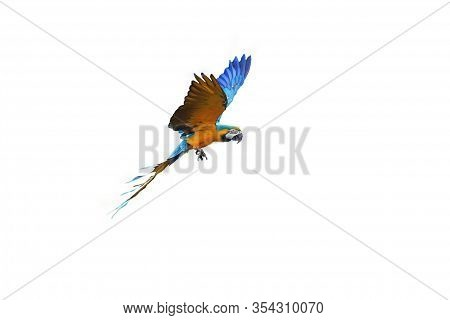 The Blue-and-yellow Macaw (ara Ararauna), Also Known As The Blue-and-gold Macaw, Isolated.