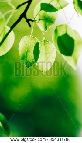 spring apple tree in closeup, selective focus