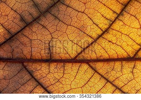 Autumn Leaves Closeup. The Skeleton Of The Leaves Is Translucent With Visible Veins And Cells. Beaut