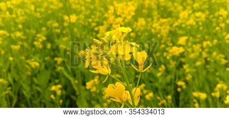Oilseed Mustard Crop Cultivation Field In Winter Season