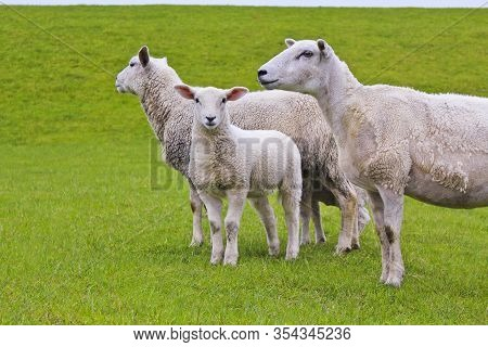 Cute White Sheep On Green Meadow And Lawn. Niedersachsen, Germany.
