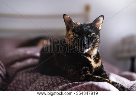 Close Up Of Tortoiseshell Cat. Tortoiseshell Cat Portrait. Close Up Of Tortoiseshell Cat Lying On Be
