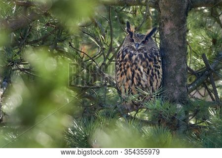 The Female Eurasian Eagle-owl (bubo Bubo) , Portrait In The Forest. Eagle-owl Sitting In A Forest On