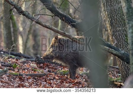Alert Wild Boar, Sus Scrofa, Standing Fierceful On A Forest In Autumntime. View Of Dangerous Aggress