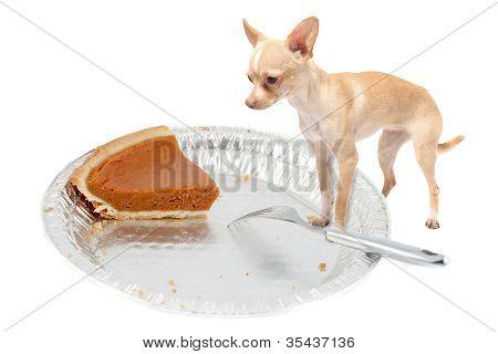 Chihuahua Wants Pumpkin Pie