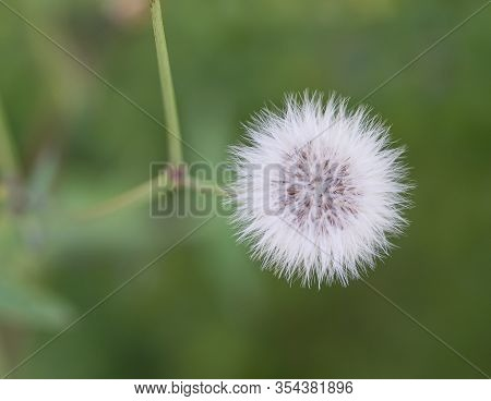 A Close Up Of White Dandelion Taraxacum Officinale Flowers In Summer Against Green Background