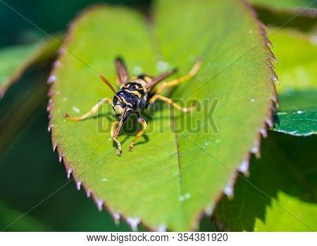 Close Up Of European Tube Wasp, Ancistrocerus Gazella On Leaf