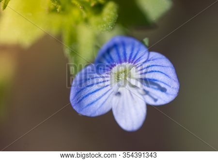 Birdeye Speedwell Flower, Veronica Persica, Has Remarkable Medicinal Powers Out Of Proportion To Its