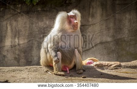 Beautiful Animals. Hamburg Zoo In Germany, Ape