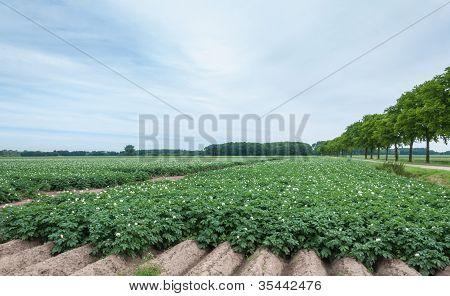 Rows Of Flowering Potato Plants