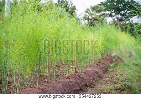 Plant With Small Green Leaves Of Edible Asparagus, Garden Asparagus Or Asparagus Officinalis Are Gro