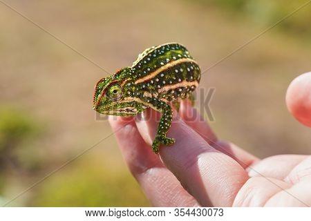 Tiny Jewelled Campan Chameleon - Furcifer Campani - Resting On White Man Hand. Chameleons Are Endemi