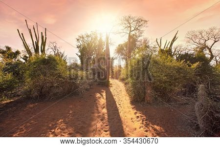 Forest With Small Baobab And Octopus Trees, Bushes And Grass Growing On Red Dusty Ground, Strong Sun