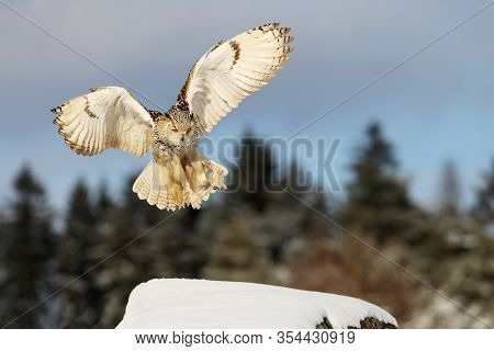 Fly Eastern Siberian Eagle Owl, Bubo Bubo Sibiricus, Landing On Rock Hillock With Snow.