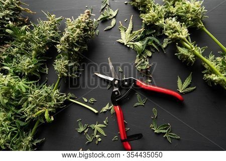 The Sugar Leaves On Buds. Mans Hands Trimming Marijuana Bud. Trim Before Drying. Growers Trim Cannab