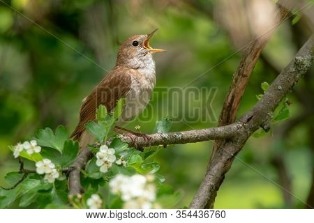 Male Common Nightingale (luscinia Megarhynchos) Sits On A Branch And Sings. Singing Bird Sitting On