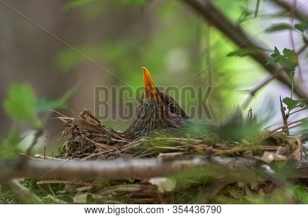 Birds In Nest. Female On The Nest Turdus Merula, Common Blackbird, Beautiful Bird Sits On The Nest,