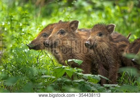 The Wild Boar (sus Scrofa), Also Known As The Wild Swine. Three Little Pigs Standing In Green Grass.