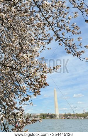 Washington Monument and cherry blossoms during cherry blossom festival in Washington DC United States of America