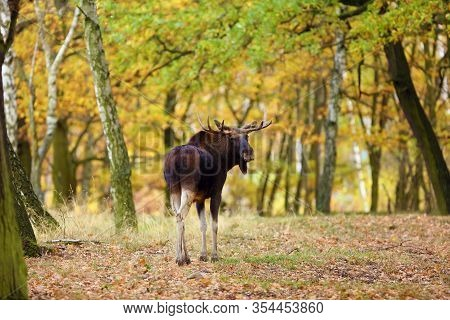 The Moose (north America) Or Elk (eurasia) Scientic Name ( Alces Alces) In The Autumn Forest.big Mal