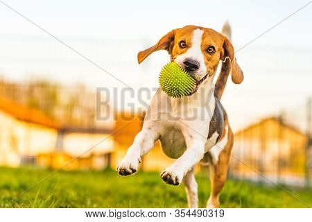 Beagle Dog Runs In Garden Towards The Camera With Green Ball. Sunny Day Dog Fetching A Toy. Copy Spa