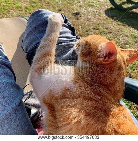 A Homeless Red Cat Of A Turkish Hotel Is Gently Pressed To The Leg In Jeans, A Place Under A Pine Tr