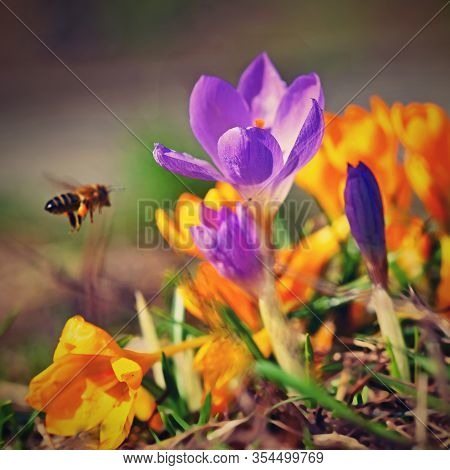 Spring Flowers With Flying Bee. Beautiful Colorful First Flowers On Meadow With Sun.  Crocus Romance