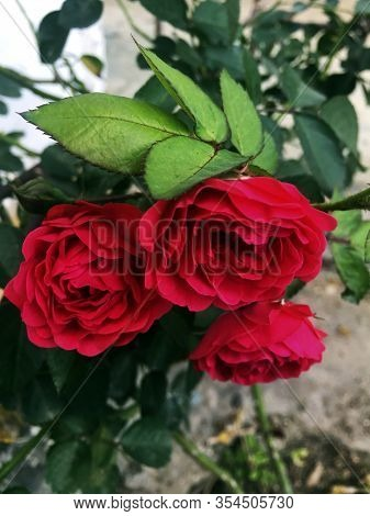 Una Hermosa Flor Caribeña Común En Jardines Cubanos