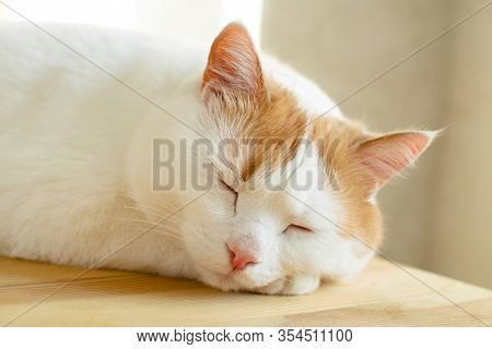 White And Red Cat Sleeping At Wooden Table In The Moning Sunlight.