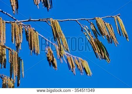 Pollen Of A Hazelnut Tree Against Blue Sky