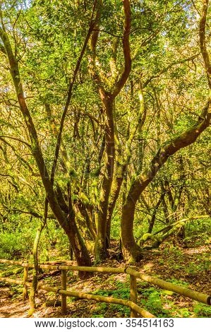 Set Of Laurel Trees Covered With Moss And Lichens In The Garajonay National Park In La Gomera. April