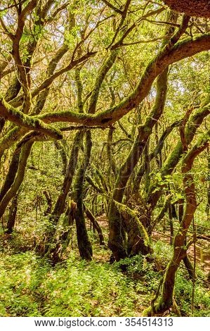 Monteverde Canary Of Laurisilva Composed Of Laurels (laurus Novocanariensis), Vineyards (persea Indi