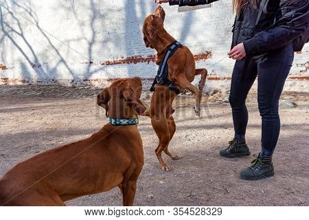 Hungarian Vizsla Male Dogs Play With Ball