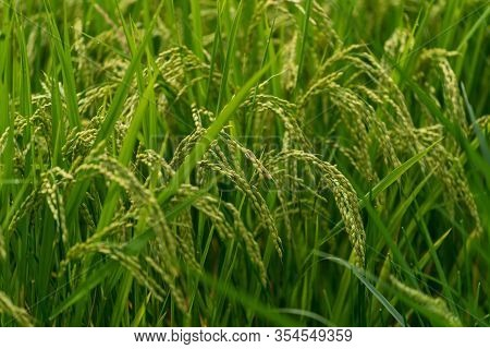 Rice Plant Close Up. Green Ripe Rice Cereal With Grains. Food Cultivation Background